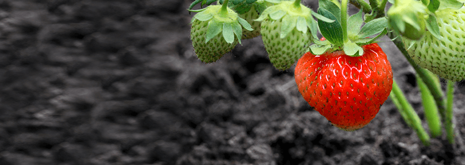A close up image of a strawberry plant